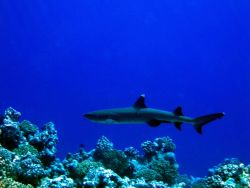 Reef whitetip shark. Photo