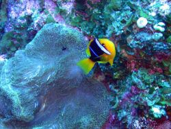 An orange fin anemonefish (Amphiprion chrysopterus) Photo