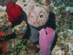 Biodiversity of colorful sponges on the shallow reefs on Little Cayman Island is among the highest in the Caribbean. Photo