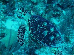 Hawksbill turtles were very interested in what divers were doing in their domain . Photo