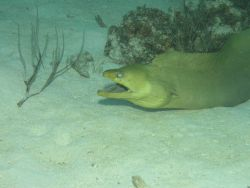 Green moray eel Photo