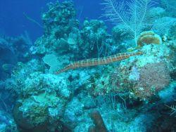 Trumpetfish Photo