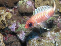 Squirrel fish Photo