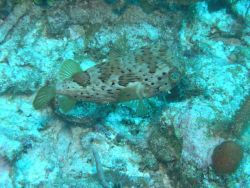 Long-spine porcupine fish (Diodon holocanthus) Photo