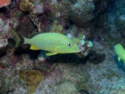 Bluestriped grunt (Haemulon sciurus) Photo