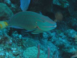 Stoplight parrotfish supermale (Sparisoma viride) Photo