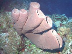 Agelas conifera is a common sponge of the Caribbean over a broad depth gradient Image