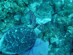 A Hawksbill turtle feeding on a sponge. Image