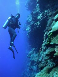 A diver explores the vertical distribution of corals on a Pacific wall. Image