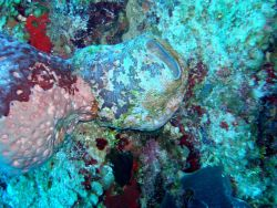 Sponge (Ircinia sp.) Photo