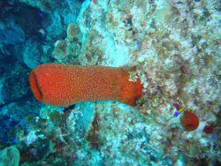 Sponge (Mycale jamacensis) Photo