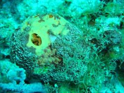 Sponges (Dictyonella arenosa on A Photo