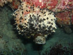 Sponge (Oceanapia bartschi) Photo