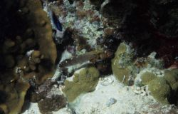 Rainsford goby (Amblygobius rainfordi) Photo