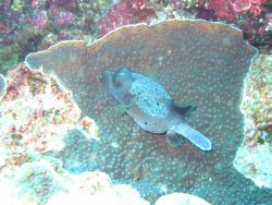 Blackspotted puffer (Arothron nigropuctatus) Photo
