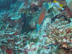 Tentatively identified as a bullethead parrotfish Photo