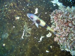Doublebar goatfish (Parupeneus trifasciatus) Photo