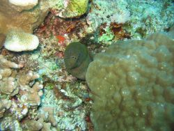 Giant moray (Gymnothorax javanicus) Photo