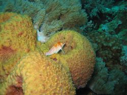 Hawkfish on sponge Photo