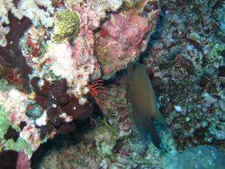 Lined bristletooth surgeonfish (Clenochaetus striatus) Photo