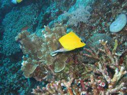 Longnose butterflyfish (Forcipiger longirostris) Photo