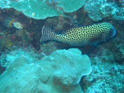 Many spotted sweetlips (Plectorhinchus chaetodonoides) Photo