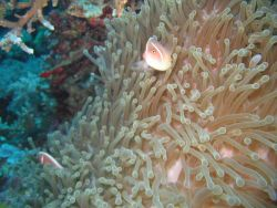 Pink anemonefish (Amphiprion perideraion) Photo