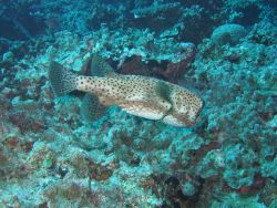 Porcupinefish (Diodon hystrix) Photo