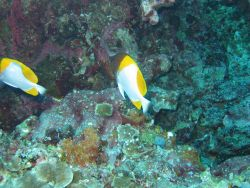 Pyramid butterflyfish (Hemitaurichthys polylepis) Photo