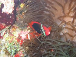 Red and black anemonefish (Amphiprion melanopus) Photo