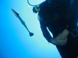 Confused remora shadowing diver (Echeneis naucrates) Photo
