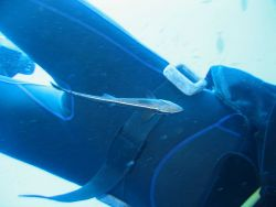 Confused remora on diver (Echeneis naucrates) Photo