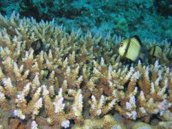 Reticulated dasyllus damselfish (Dascyllus reticulatus) Photo