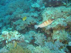 Spot banded butterflyfish (Chaetodon punctofasciatus) in left background Photo