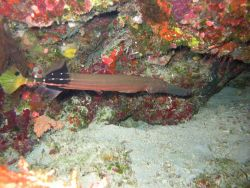 Trumpetfish (Aulostomus sp.) Photo