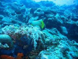 Yellow mask angelfish (Pomacanthus xanthometopon) Photo