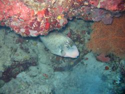 Yellowmargin triggerfish (Pseudobalistes flavimarginatus) Photo