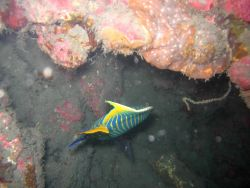 Emperor angelfish (Pomacanthus imperator) Photo