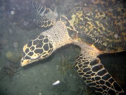 Hawksbill turtle Photo