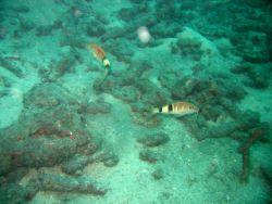 Manybar goatfish (Parupeneus multifasciatus) Photo