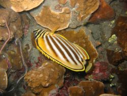 Ornate butterflyfish (Chaetodon ornatissimus) at night. Photo