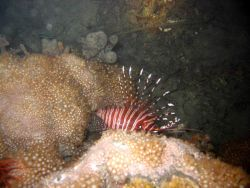 Appears to be spotfin lionfish (Pterois antennata) Photo