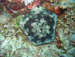 A cushion star (Culcita sp.) Image
