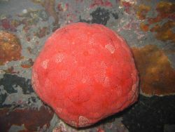 A red cushion star (Culcita sp.) Image