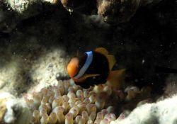 Anemone fish Image