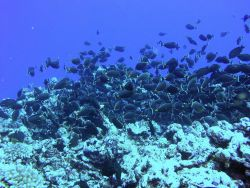 A school of surgeonfish. Image