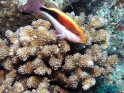 Freckled hawkfish (Paracirrhites forsteri) Photo