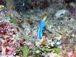 Blue ribbon eel, male, (Rhinomuraena quaesita) Photo