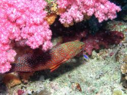 Miniata or grouper seen from above (Cephalopholis miniata) with pink and red soft coral Photo