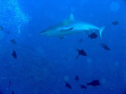 Galapagos shark cruising through a school of triggerfish. Photo